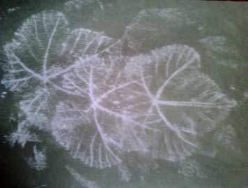 chalk-leaves
