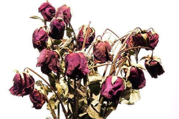 Dead Roses