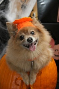 Pomeranian dressed as pumpkin