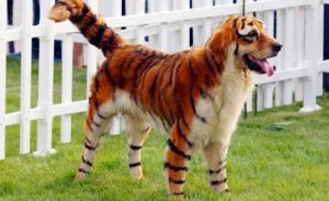 Tiger (clubflyersmag.com)