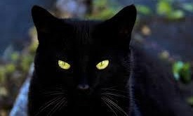 yellow eyes black cat